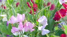 Helen Yemm: how to detangle sweet peas, recycle compost and protect a banana