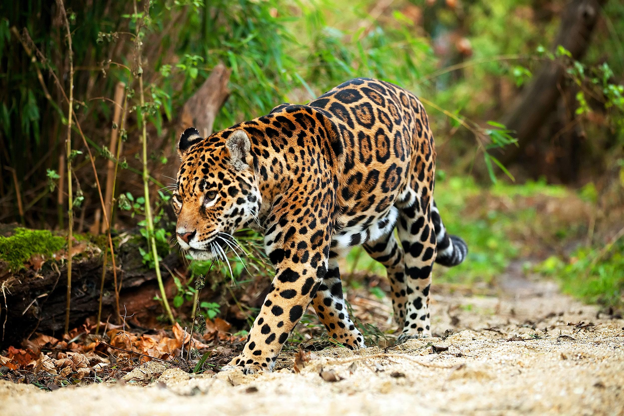 Close-Up Of Leopard Walking In Forest