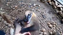 Super cute coati plays with caretaker just like a doggy