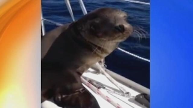 Friendly Sea Lion Cuddles With Boater