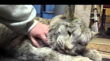 Cuddly Lynx Proves That Even Big Cats Are Still Cats