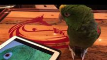 Singing Parrot Does a Duet With Recording of Herself