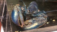 Blue lobster from Cape Cod restaurant headed to new life at St. Louis Aquarium