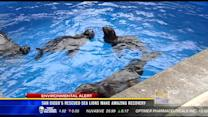 San Diego's rescued sea lions make amazing recovery