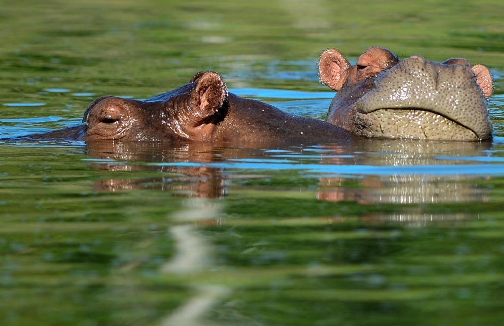 Hippos are seen at the Hacienda Napoles theme park, once the private zoo of drug kingpin Pablo Escobar at his Napoles ranch, in Doradal, Antioquia department, Colombia (AFP Photo/RAUL ARBOLEDA)