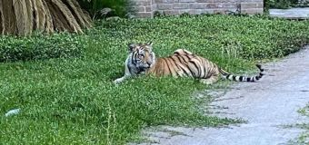 Man seen with tiger arrested; tiger's whereabouts unknown