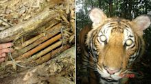 Malaysia's tigers threatened by rampant snaring, global population stabilised: WWF