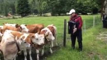 Cow herd rushes over to listen to man playing accordion