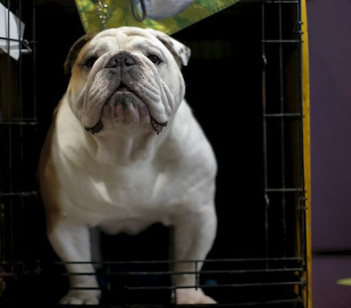 English Bulldogs Require Infusion Of New Bloodline