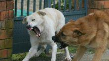 Sbranata dai cani durante una passeggiata: muore donna incinta