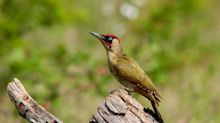 Tweet of the week: Green woodpecker