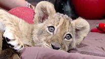 Lion cubs find new home