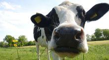QUIZ: ¿Cómo contribuyen las vacas al calentamiento global?