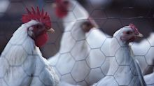 Will Duke Energy, other utilities get their poultry- and swine-power plans on track?