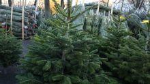 Confinement : la vente de sapins de Noël autorisée
