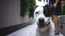Segundo estudo, cachorros correm para consolar seus donos quando os veem chorar