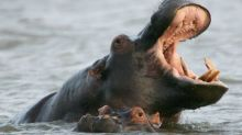 Zambia revives plan to cull 2,000 hippos over next five years