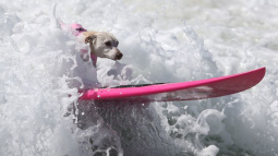 Surfing spaniels hit the waves in California