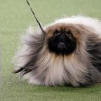 A Pekingese named Wasabi won Westminster's Best in Show and Twitter wasn't having it