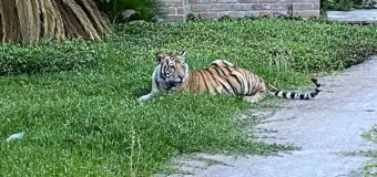 Houston man seen with tiger arrested; tiger still at large