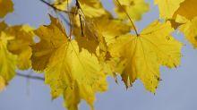 Herbst-Quiz: Zu welchem Baum gehören diese Blätter?