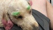 Woman slams groomer after dog dyed neon green and pink: 'She looks like ... you were trying to turn her into a clown'