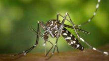 Ibiza recebe nuvem de mosquitos tigres-asiáticos, uma das espécies mais mortais do mundo; Espanha teme 'problema de saúde pública'