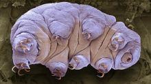 Animaux de l'extrême. Des tardigrades survivent aux ultraviolets mortels en scintillant