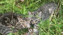 Two kittens euthanized after leg-trap set in north Edmonton