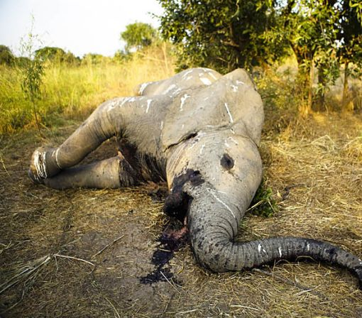Africa Has Lost a Third of Its Elephants in Just 7 Years