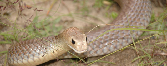 Man dies from eastern brown snake bite