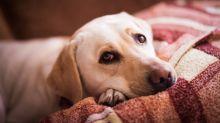 Experten warnen: Hunde werden unter dem Ende der Corona-Zeit leiden