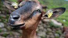 WATCH: 'Demon Goat' In India Has Human-Like Face