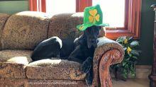 Festive Great Dane models St Patrick's Day shamrock hat