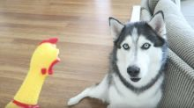 Husky had priceless reaction to rubber chicken toy
