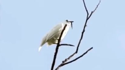 Loudest bird in the world has a deafening song