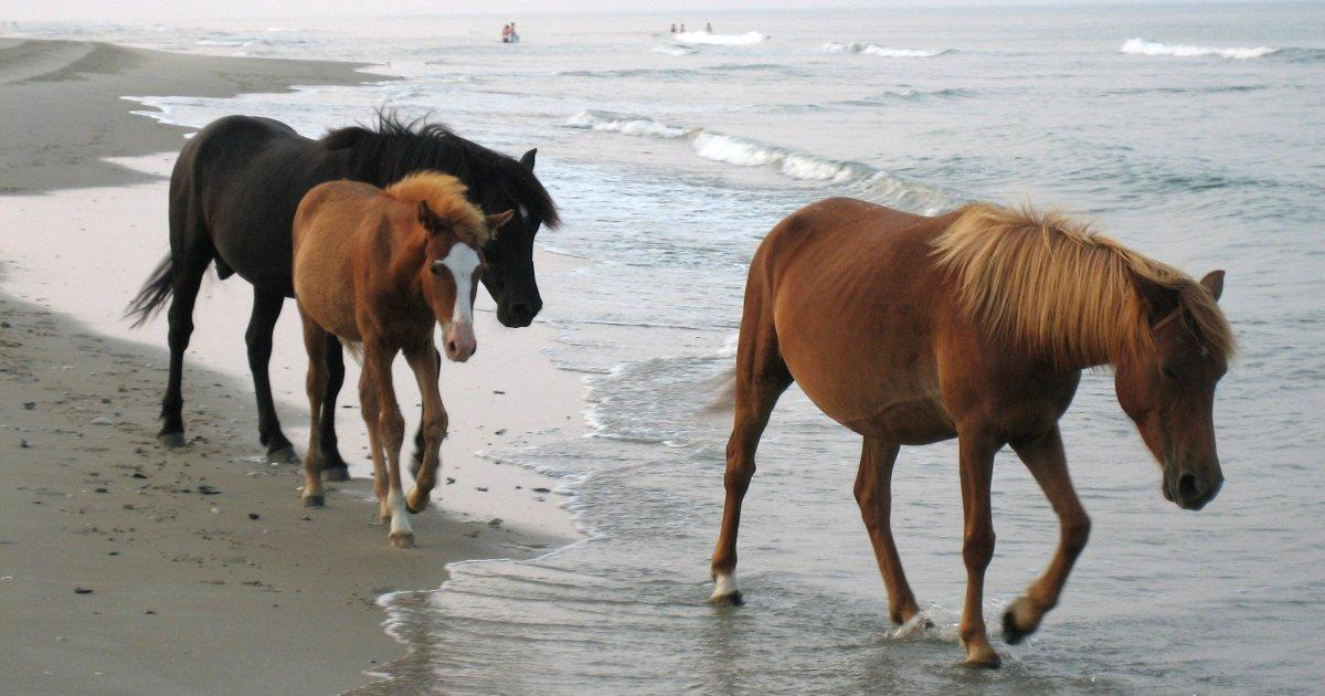 Wild Horses Of North Carolina S Outer Banks Will Ride Out Hurricane Dorian Butts To The Wind