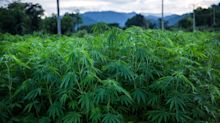 Cannabis, i principi attivi possono essere prodotti dai lieviti della birra