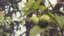 8 Amazing Health Benefits Of Guava Leaves
