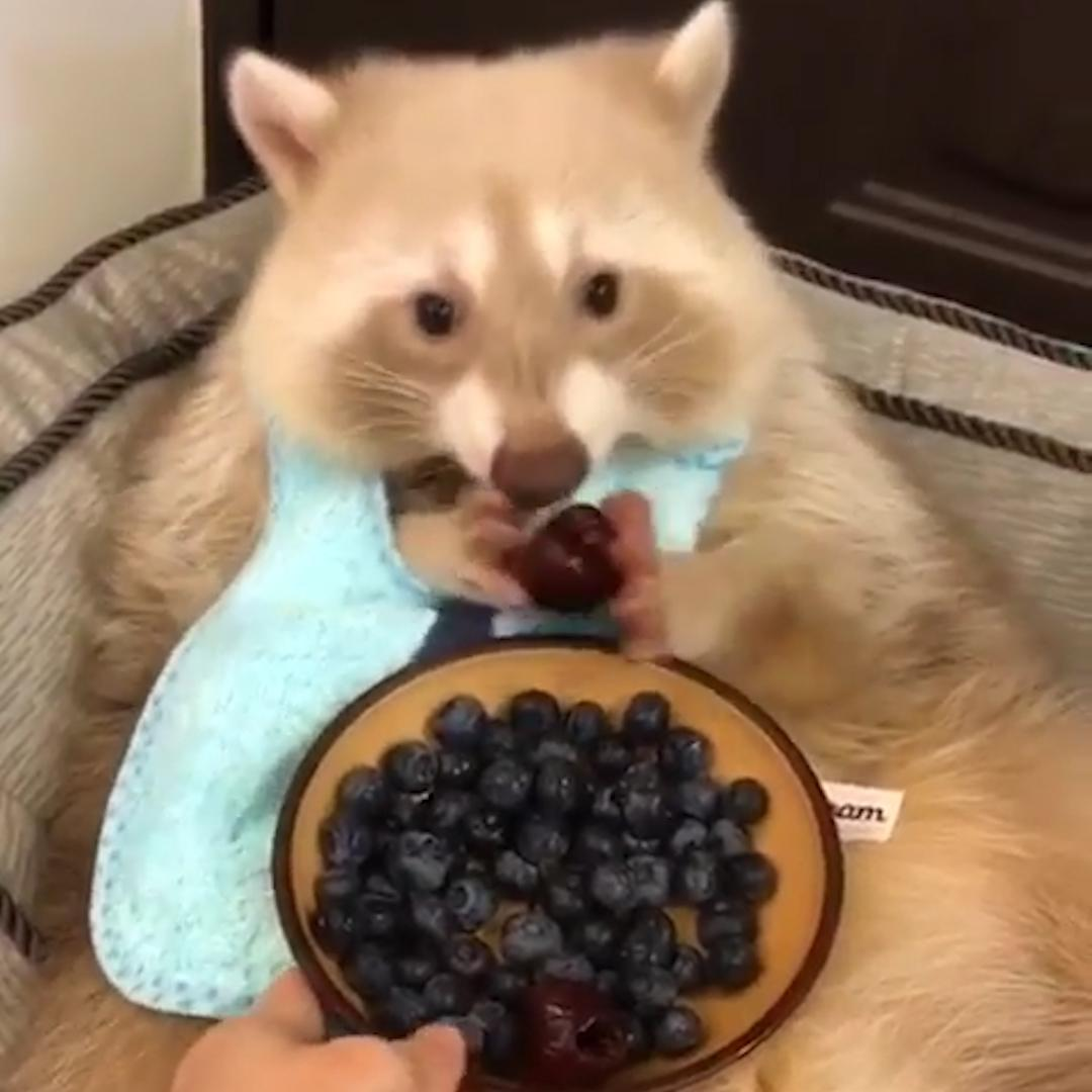Meet Uni the pet raccoon