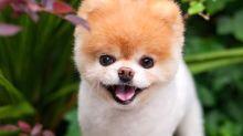 """Addio a Boo: è morto """"il cane più tenero del mondo"""""""