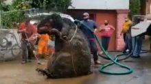 La 'rata' gigante que encontraron atorada en el drenaje de Ciudad de México
