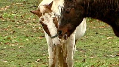 Neglected Horses Expected To Recover
