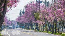 2公里櫻花大道盛開!全台最長賞櫻熱點