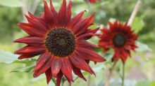 Sunflowers: a feast for your eyes, and for pollinators
