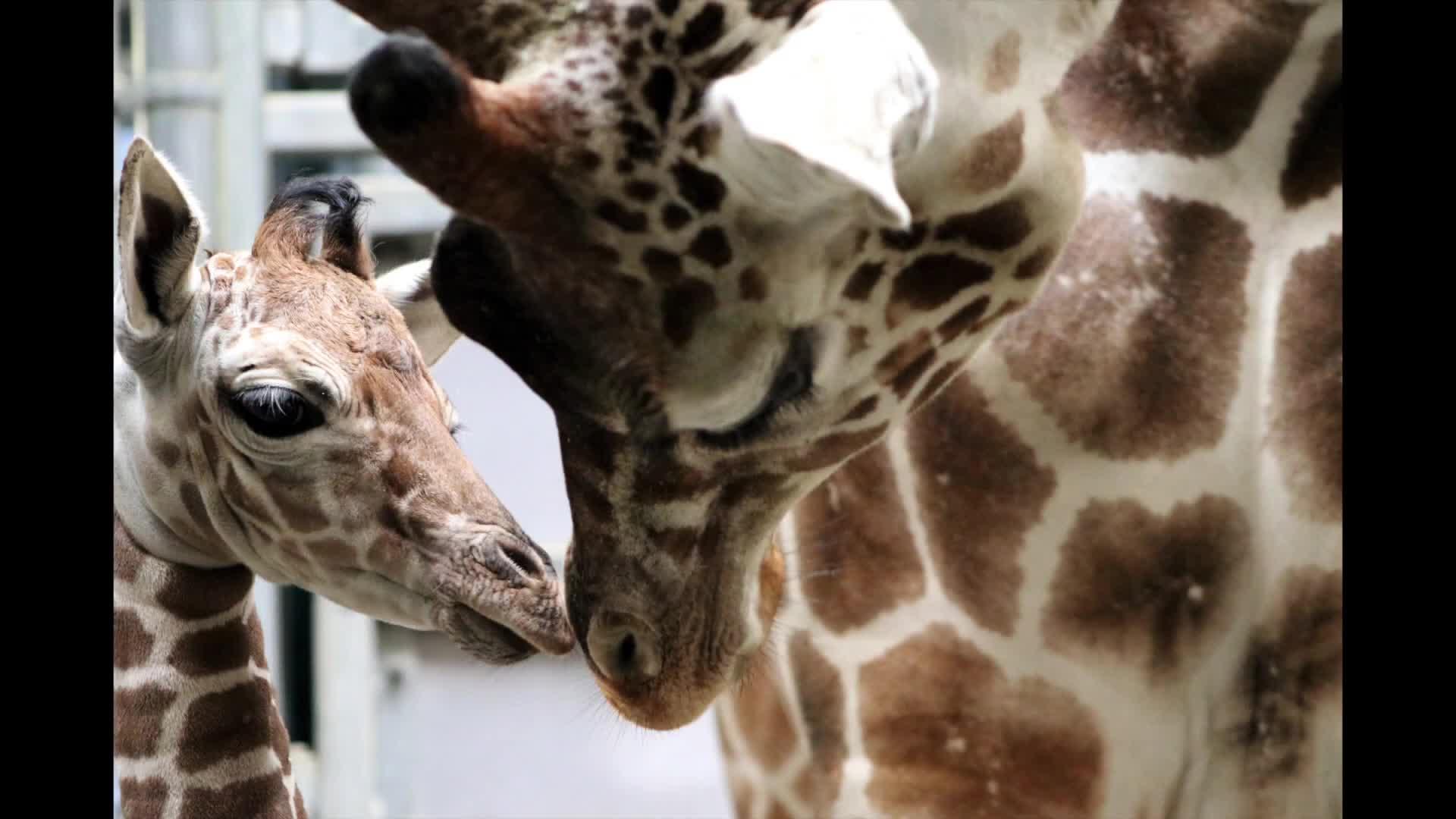 Indianapolis Zoo Welcomes Adorable Baby Giraffe