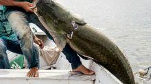 El pirarucú, el pez gigante de la Amazonía que seduce a chefs de Rio de Janeiro
