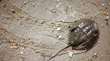 Drugs standards group nixes plan to kick pharma's crab blood habit
