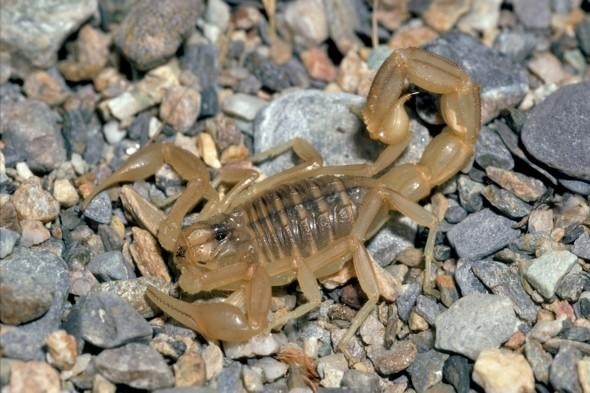 <p> Out of the 1,500 species of scorpion, the African spitting scorpion is thought to be the most deadly, and can spray its venom up to a metre. Arounf 25 species of scorpion are thought to be deadly to humans.<br /> <strong>Kills:</strong> An estimated 800-2,000 people a year.<br /> <strong>Deadly technique:</strong> Scorpions use their tail stingers to paralyse their prey with venom.<br /> <strong>Lives in:</strong> Worldwide; particularly Africa, the Americas and Central Asia.</p>