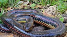 A rare, 'cryptic' rainbow snake was spotted in a Florida forest for the first time since 1969